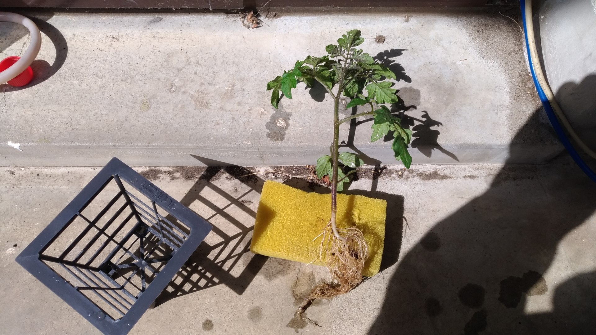 ミニキャロルの苗をポッドから外してスポンジに巻きつけて水耕栽培用のポッドに入れる