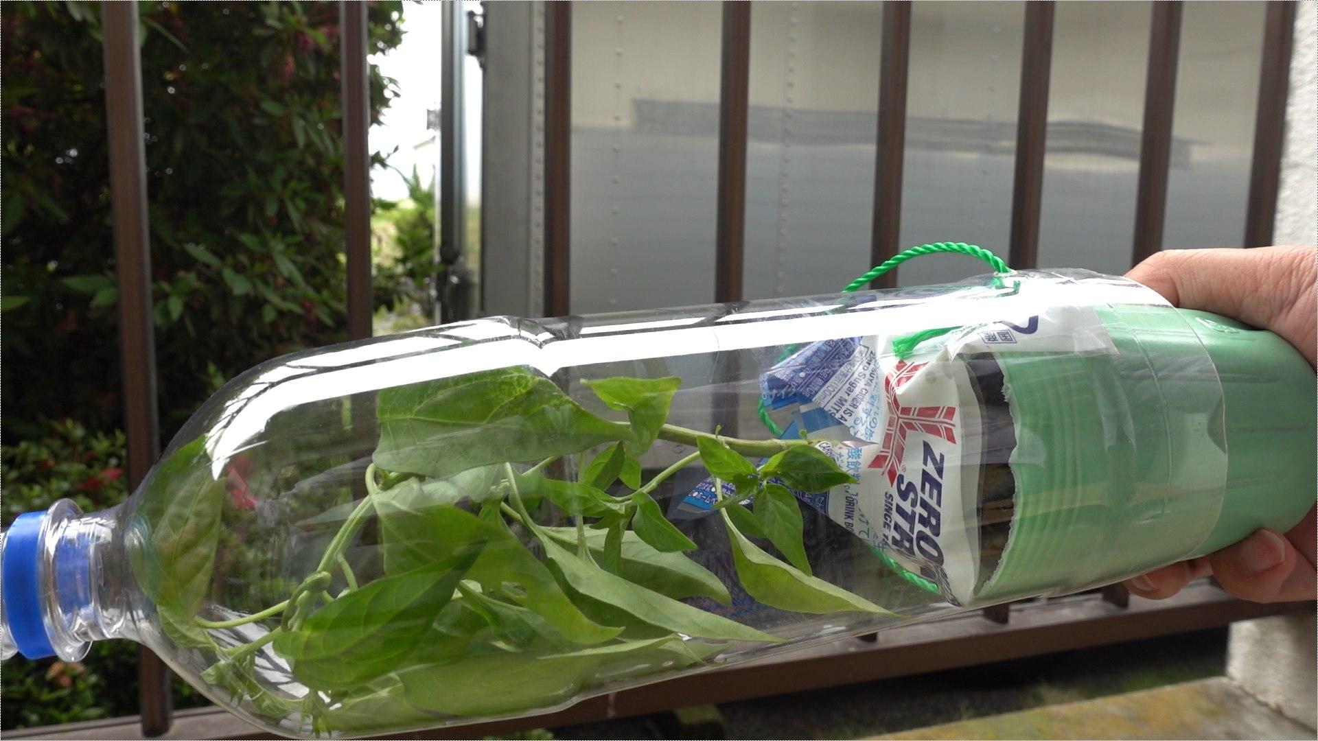 ペットボトルに苗を入れる